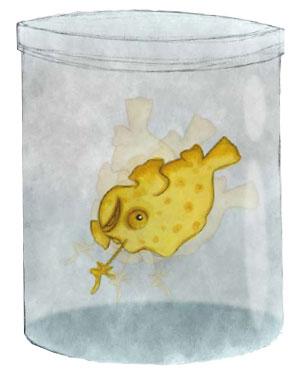 Gino, il piccolo frogfish sull'acropora di Jackson Reef