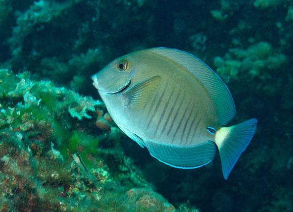 pesce chirurgo mediterraneo