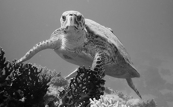 Una tartaruga sul relitto del Dunraven