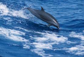 Delfino a Farasan Banks