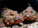 Scorpaenopsisbarbutus