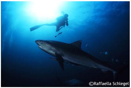 A tu per tu con gli squali in sudafrica articolo su - Bagno con gli squali sudafrica ...