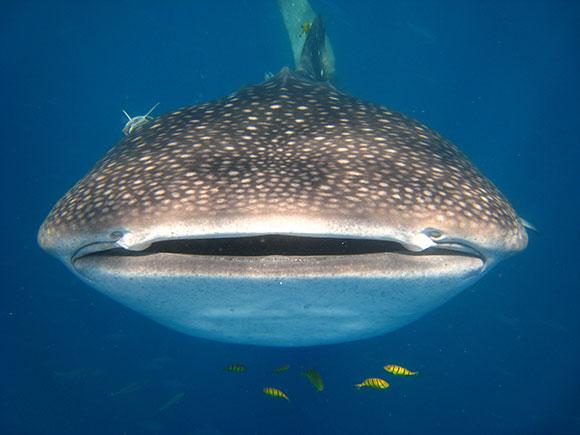 Nosy Be - squalo balena