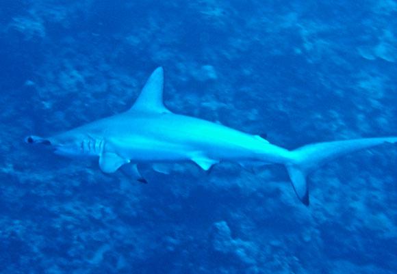 squalo martello
