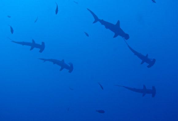 squali martello