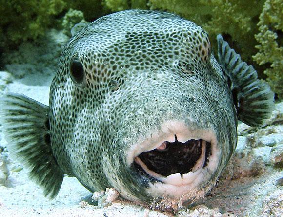 Pesce topo pesce topo milano sequestrato il pesce quot for Pesce palla immagini