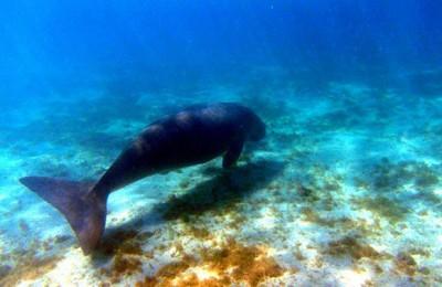 Il-dugongo