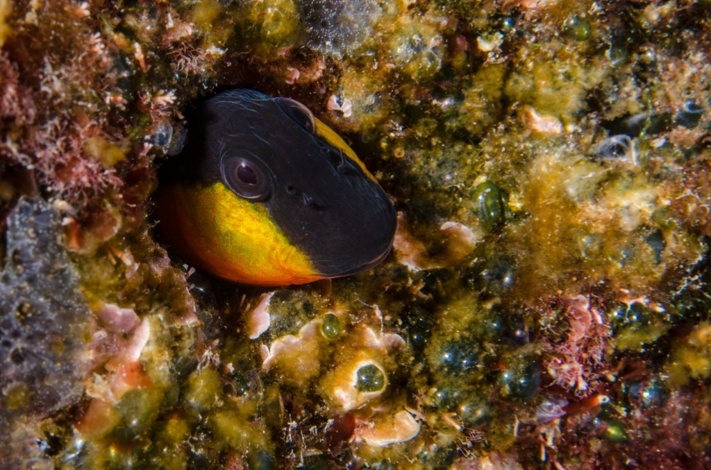 Conoscere il mare-Bavosa gote gialle-Lipophrys canevae