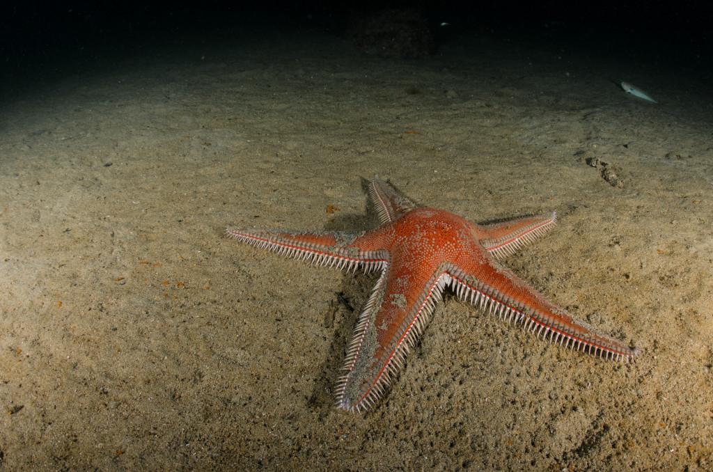 Stella-Astropecten aranciacus