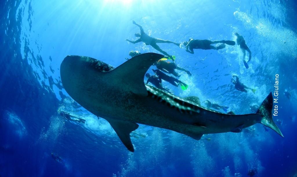 squalo_balena_snorkeling