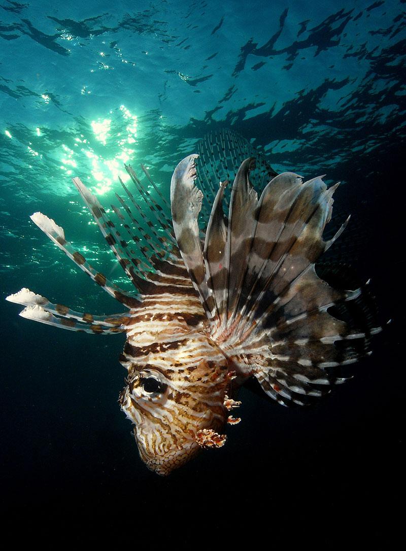 Un pesce leone. Foto di Adolfo Maciocco