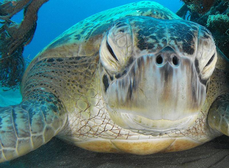 Una tartaruga verde gigante, ospite abituale a Naama Bay. Foto di Adolfo Maciocco