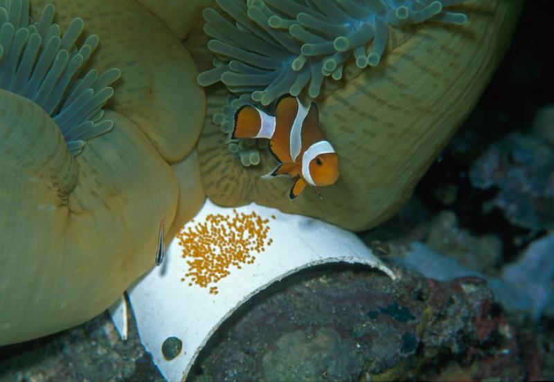 Il pesce pagliaccio Amphiprion ocellaris e il suo nido, su una tavoletta di plastica.