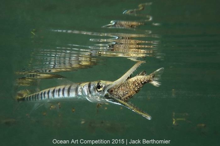 """1st Place, Compact Marine Life Behavior: Jack Berthomier - """"Fast strike of a Tylosorus crocodilus on a juvenile kyphosus vaigiensis"""""""