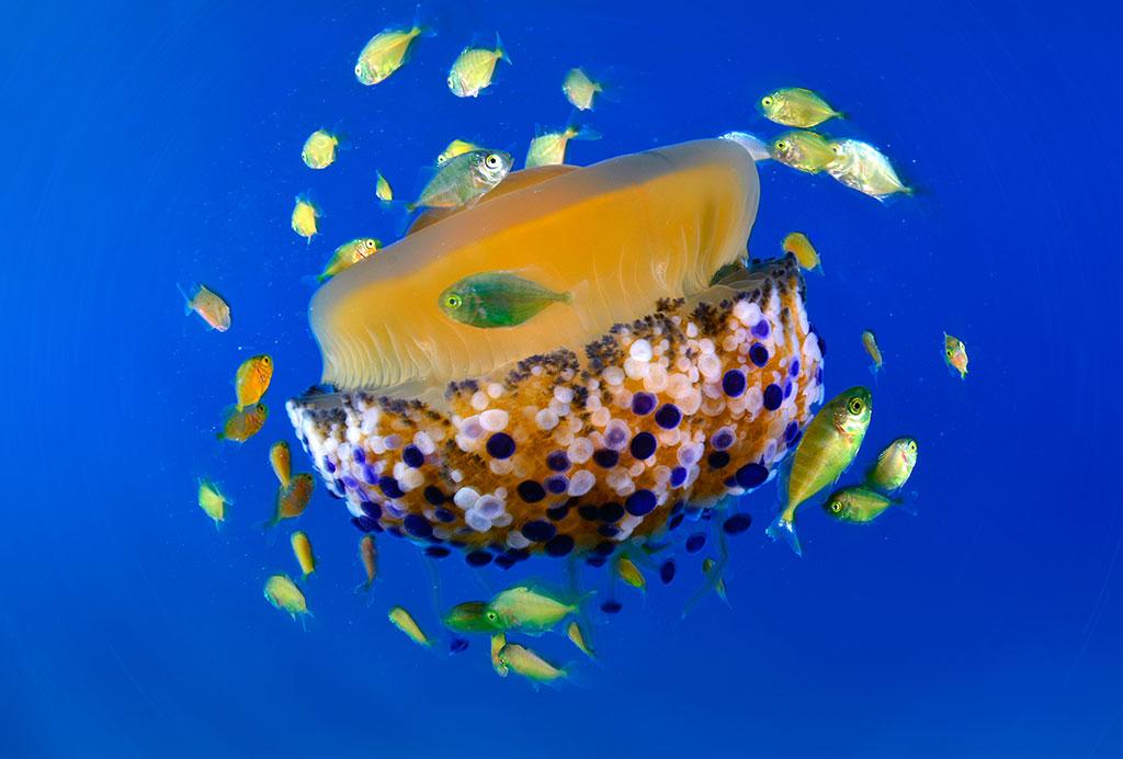 Foto di Francesco Turano. Una medusa diventa microcosmo vivente e rifugio per una serie di pesciolini che nei primi mesi di vita necessitano di nascondiglio alla vista dei predatori. Una situazione stupenda, una delle tante che la natura offre all'osservatore consapevole, ma è necessario conoscere le stagioni del mare per imbattersi in occasioni come questa, uniche per il fotosub naturalista.