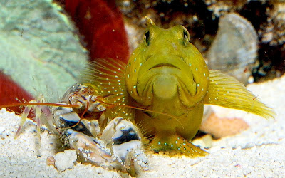 Goby and shrimp bff
