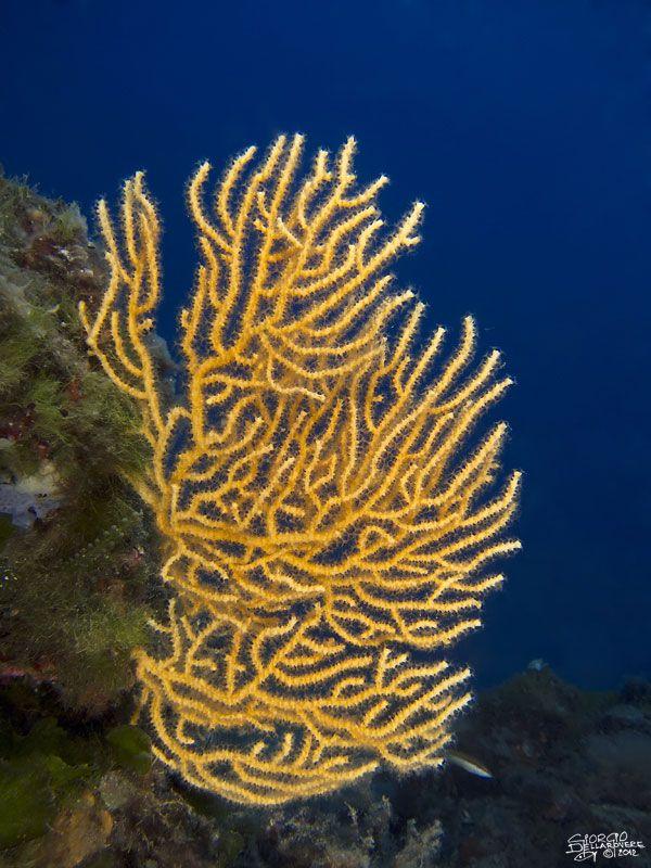 Punta-Galera---Gorgonia-gialla