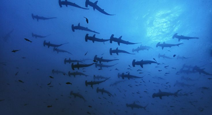 Shooling Scalloped hammerhead sharks, Sphyrna lewini, Endangered (IUCN),Cocos Island, National Park, Natural World Heritage Site, Costa Rica, East Pacific Ocean