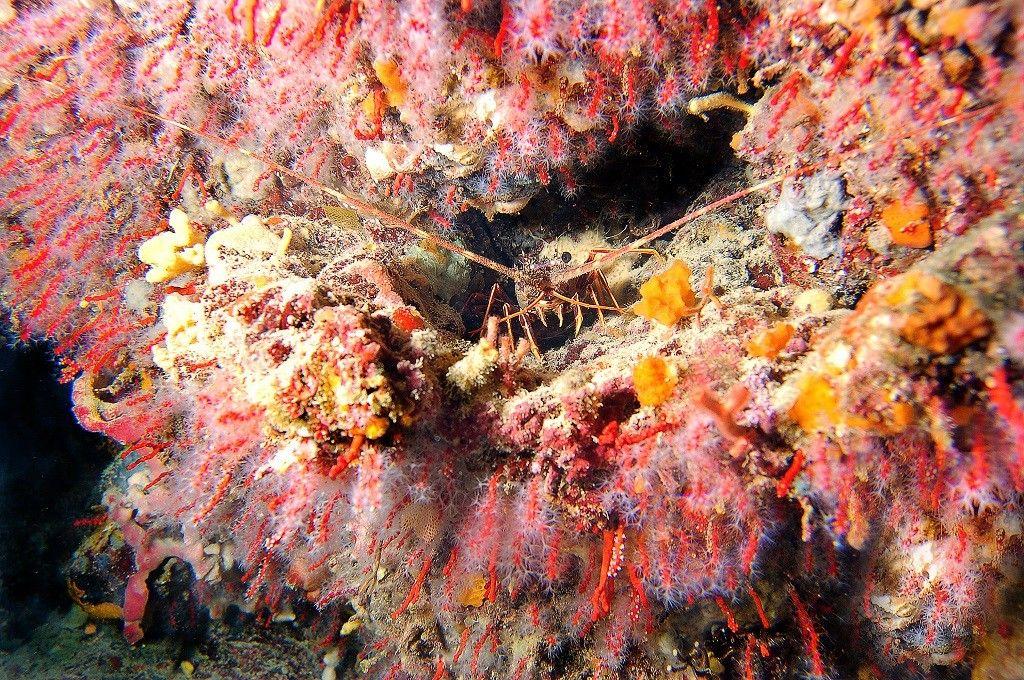 corallo-allisola-rid