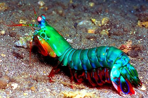 foto-peacock-mantis