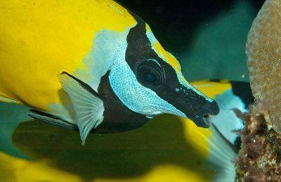 pesci erbivori siganus vulpinus