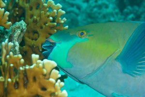 pesci erbivori