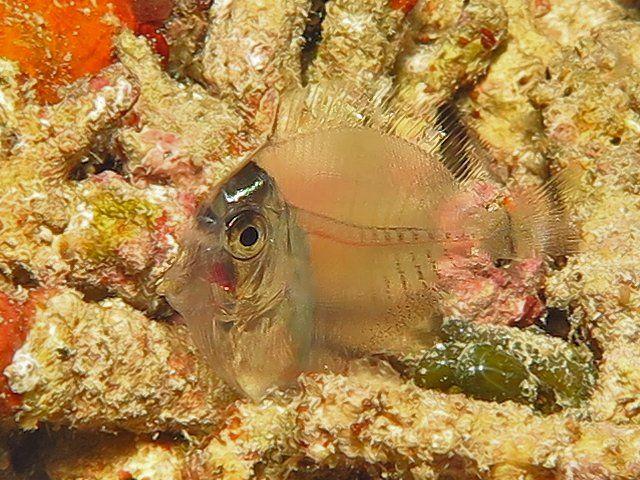 pesce trasparente