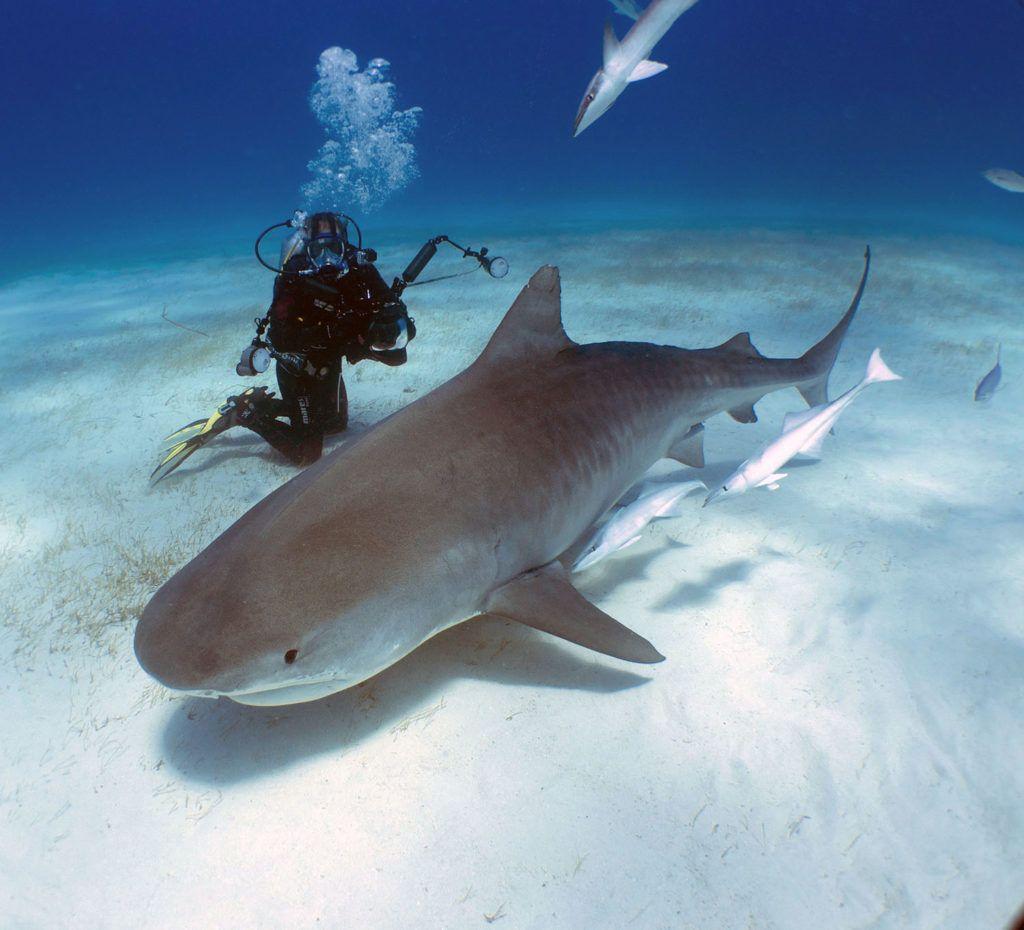 squalo tigre