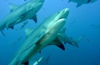 migliori immersioni con squali