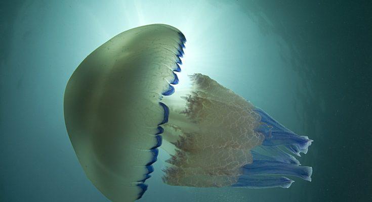cose da sapere sulle meduse