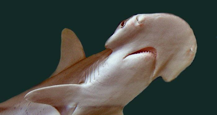 squalo vegetariano