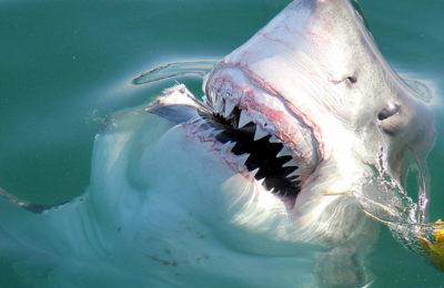atacchi di squalo