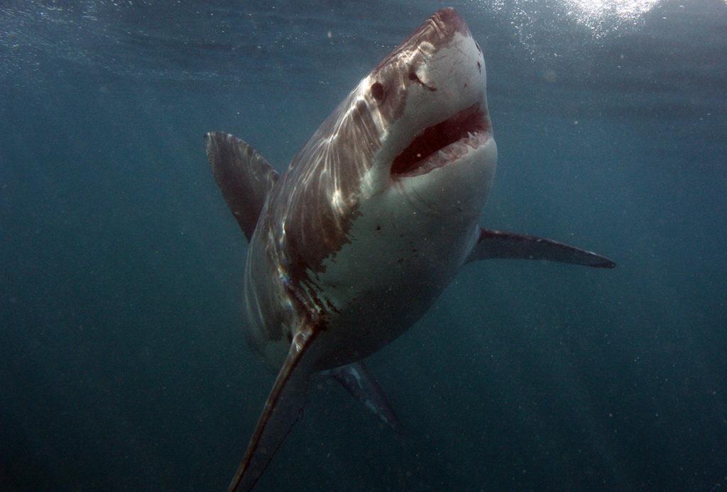attacchi di squalo