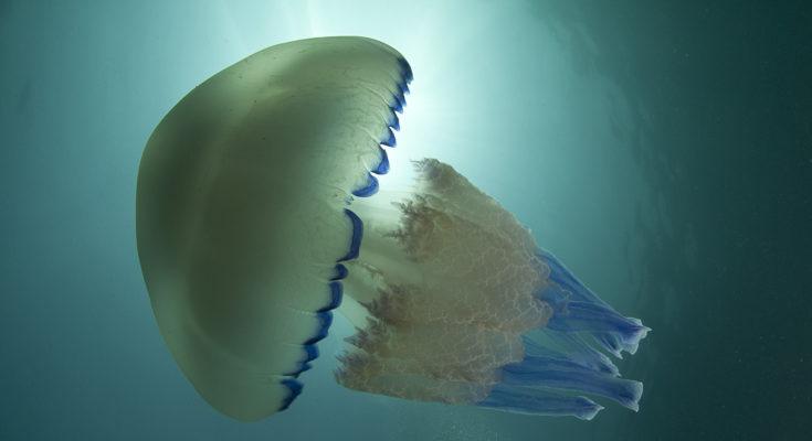 invasione di meduse