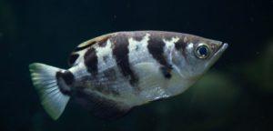 pesce arciere