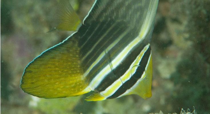 suono del reef