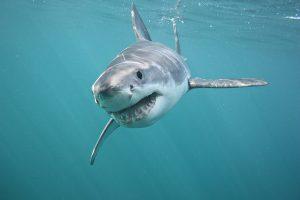 squalo bianco in mediterraneo