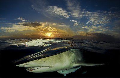 vivaio degli squali limone
