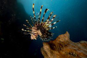 pesce leone in mediterraneo