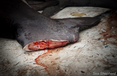 commercio delle pinne di squalo