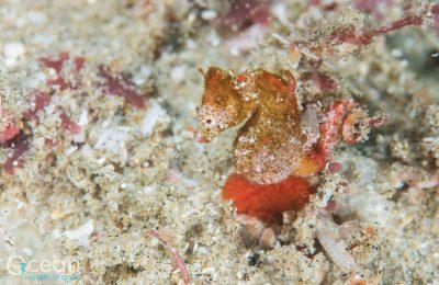 Nuova specie di cavalluccio marino pigmeo
