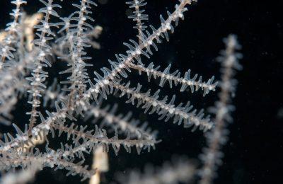 corallo nero