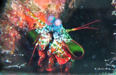Un meraviglioso arcobaleno di cazzotti. The Peacock Mantis Shrimp  PARTE II