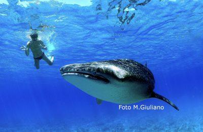 lo squalo balena- il gigante del mare