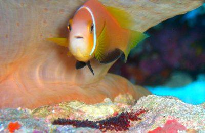 I pesci pagliaccio - più di una favola