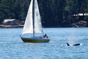 orca pescatore tonno