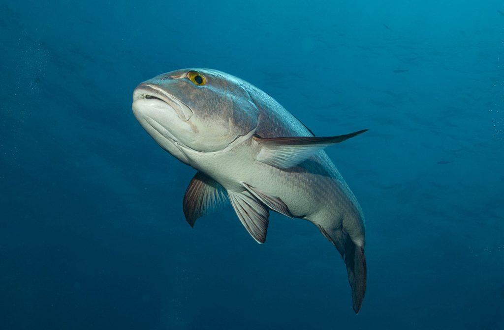 pesce di reef più vecchio