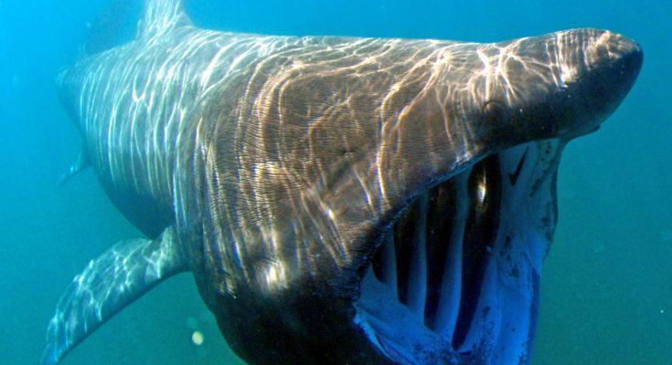 squalo elefante