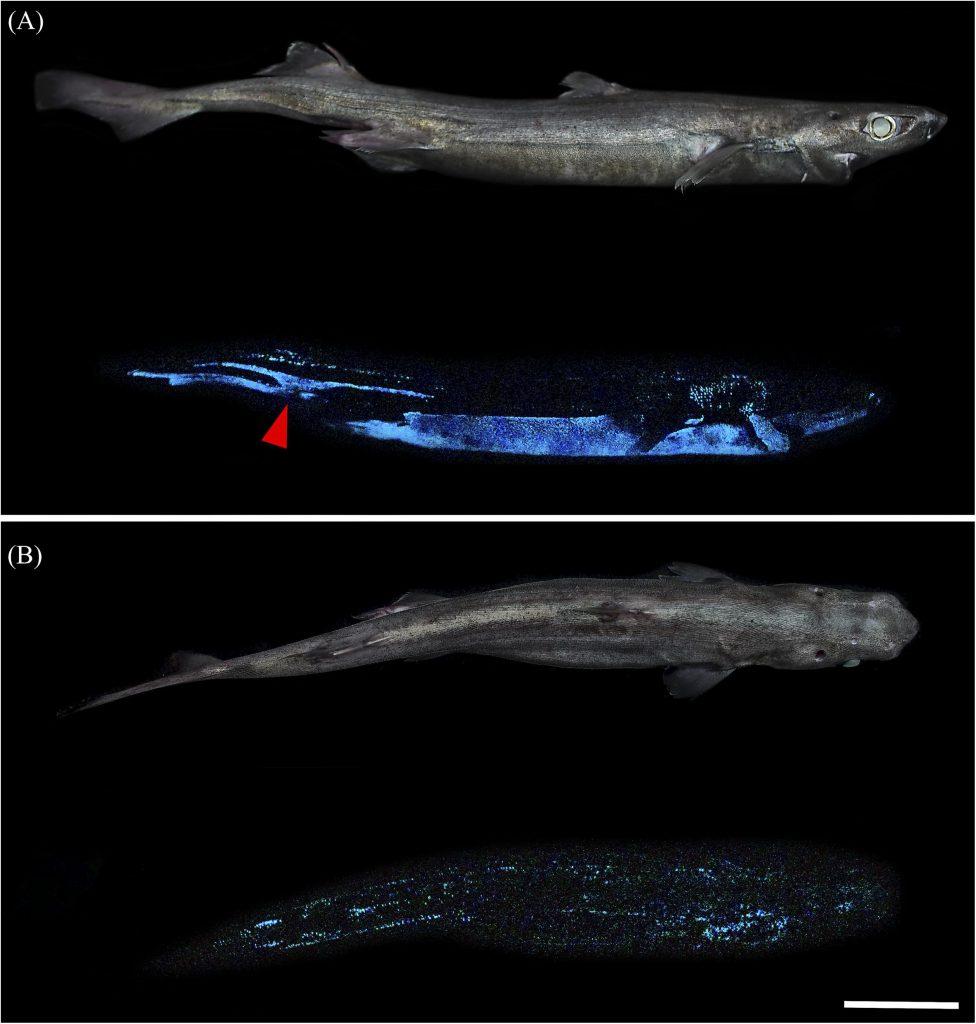 squalo bioluminescente