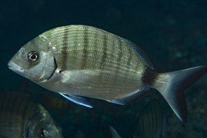 I pesci ingoiano microplastiche